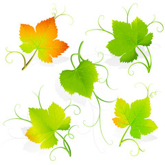 Grape leaves. Vector