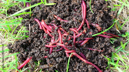 many red worms in dirt - bait for fishing