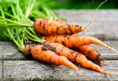 frisch geerntete Bio-Karotten