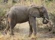 elefant4