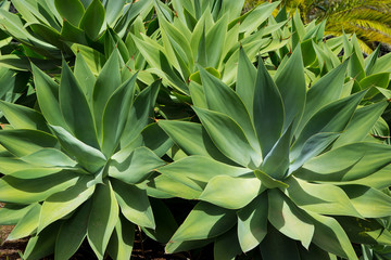 Agave Attenuata cactus plant from Canary Islands