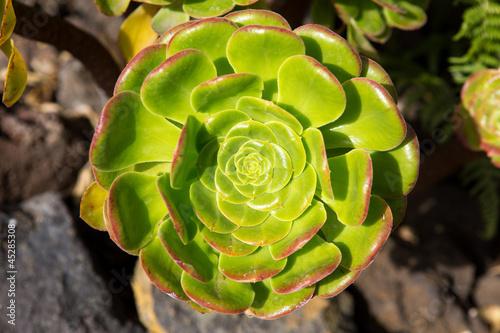 Foto op Canvas Cactus Aeonium canariense Verode cactus plant