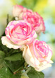 beautiful bouquet of pink roses, on green background