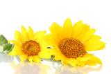 Fototapety beautiful sunflowers, isolated on white