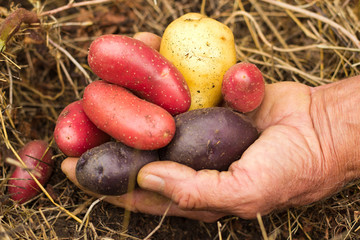 Farmer holding potatoes over potato bed
