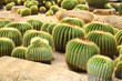 The Golden Barrel Cactus  field