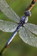 Libelle- Odonata