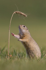 Ziesel mit Getreide