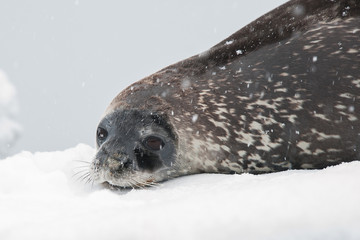 Weddell seal on the beach