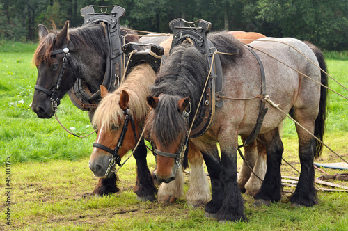 Three yoked Belgian draft horses standing on the meadow