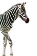 New born baby zebra isolated on white