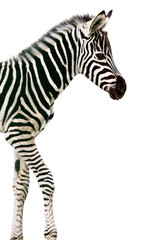New born baby zebra isolated on white