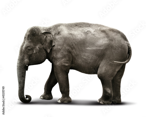 elephant white background