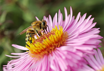 Bee on the aster.