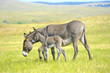 Mother and Baby Burro