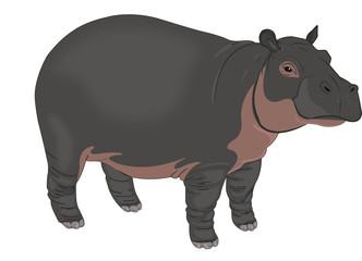 Hippopotamus or Hippopotamus amphibius, illustration