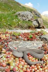 Vipera asips atra concolor in its habitat