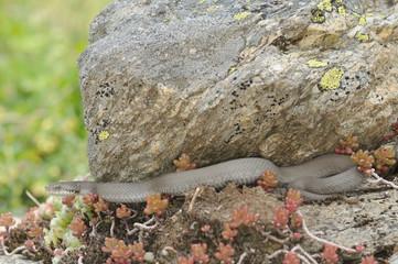 Vipera aspis atra concolor - hidden