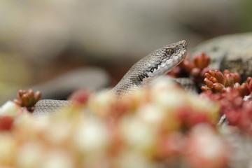 mountain viper  portrait