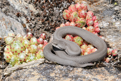 mountain viper - concolor specimen