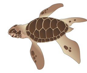 Sea Turtle, illustration