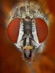 Extreme sharp and detailed study of fly taken with microscope