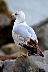 New England Seagull