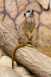 Meerkat portrait in the zoo