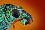 Extreme sharp and detailed study of metallic weevil