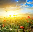field with flowers at the sunset