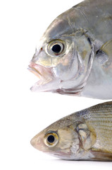 Isolated two pacific fish head