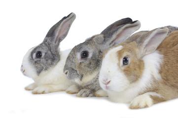 Cute three rabbits