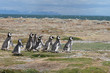 Magellan Penguins run for the beach, Punta Arenas, Chile