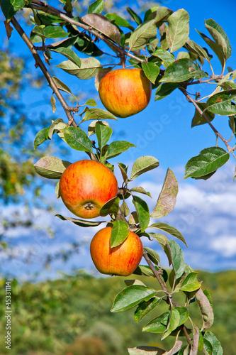 Orange Äpfel am Baum