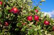 Rote Äpfel am Ast