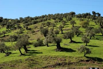 Olive grove, Guaro, Spain © Arena Photo UK