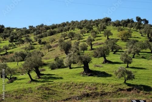 Olive grove, Guaro, Spain © Arena Photo UK
