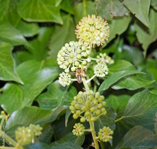 abeille butinant dans un lierre en fleur