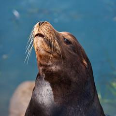 California Seal in Morro Bay, California, USA