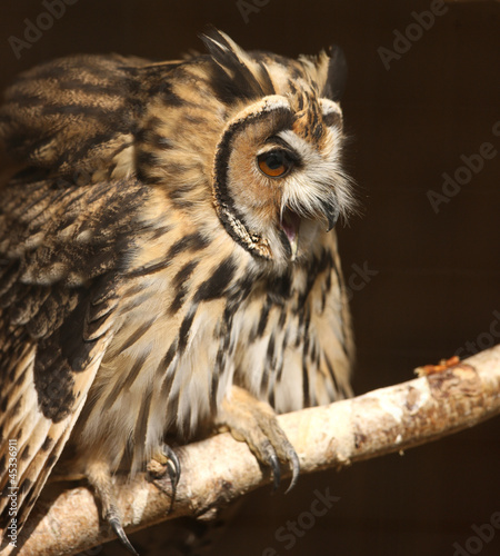 Staande foto Uil Portrait of a Mexican Striped Owl screeching