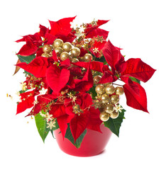 christmas flower poinsettia with golden decoration