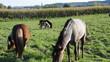 Ponnys auf der Weide