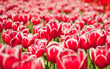 Field of tulips, natural wallpaper, selective focus