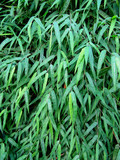 Green foliage of a bamboo. Green background.