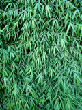 Green leaves of a bamboo. Green background.