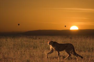 Ghepardo a caccia all'alba africana