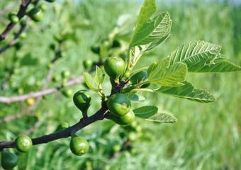 pianta di fico con frutti