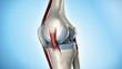 Knee anatomy in detail