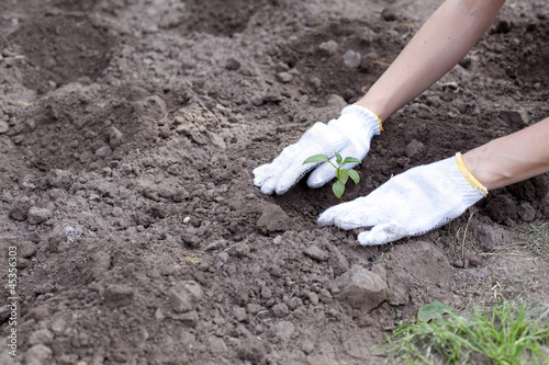 Human hands planting green small plant