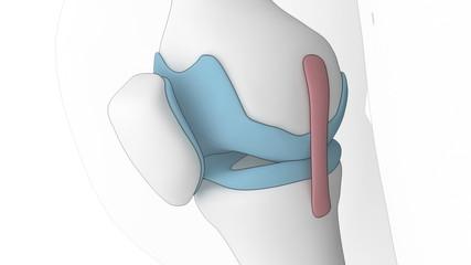 Anatomy of knee in cartoon look